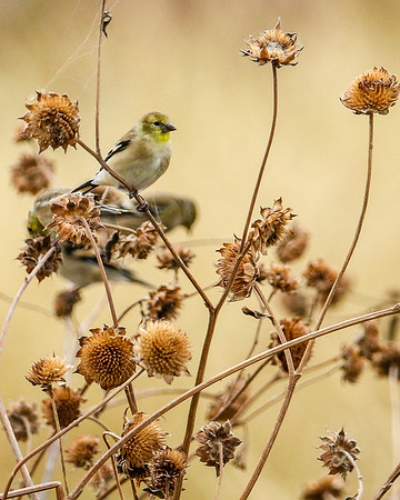 Finches & Euphonias