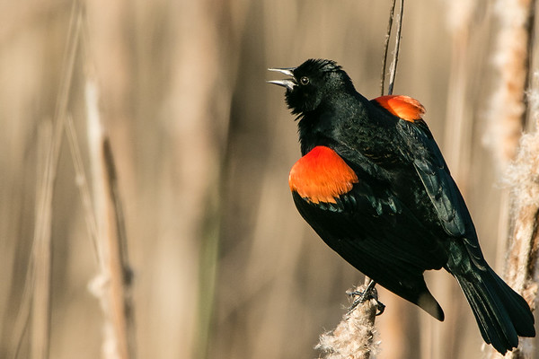 Orioles & Blackbirds
