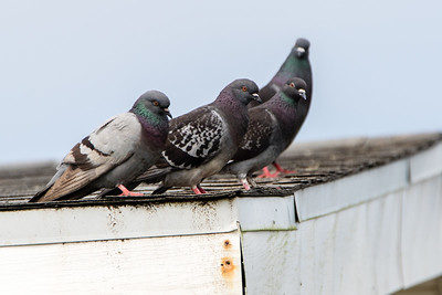 Pigeons & Doves