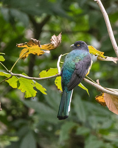 Trogons and Cotingas