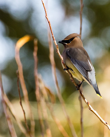 Waxwings & Silky-flycatchers