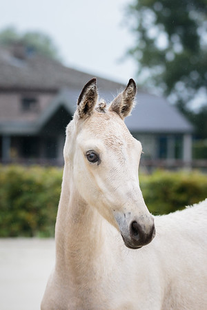 210911 Belgium Eventing Foal Championships Fillies