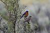 Western bluebirds nesting