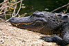 Alligator in Florida_CindySnider