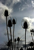 Silhouetted Teasels in a Spring sky by Sue Anderson.