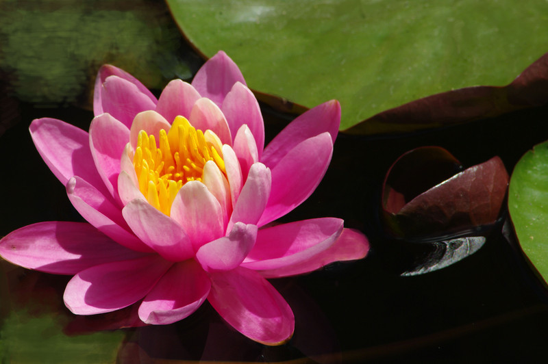 Pond lily-Mary Smith