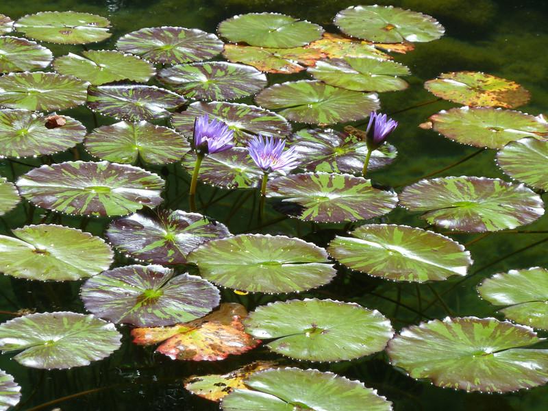 Waterliliescolor_sandykoch