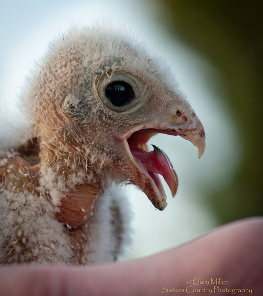 Young Kestral chick meets its first human beings during a banding nest inspection encounter in the Sisters Country, Central Oregon - Photo by Gary N. Miller - Sisters Country Photography