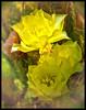 SAPC_Color_YellowCactus_LindaZ_083