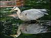 SAPC_Thirds_Geribaldi Heron_LindaZieg760