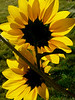 challengeSunFlower_LindaZ