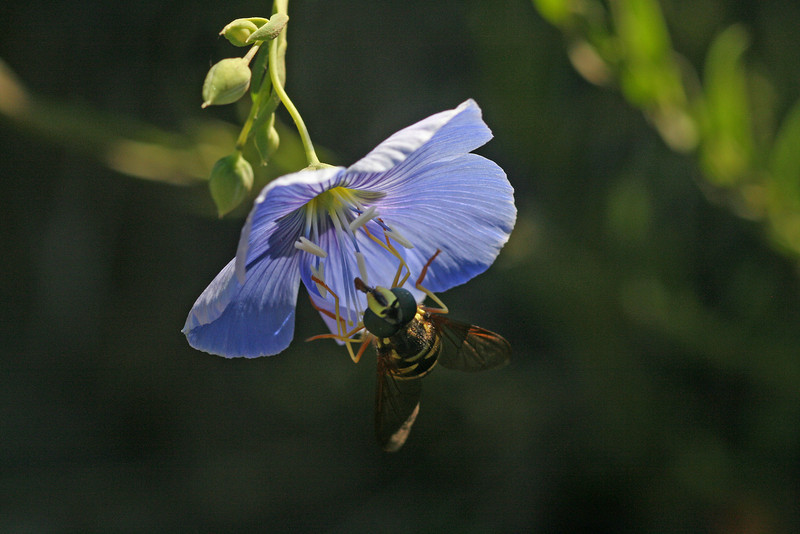 Bee Fly at Flax - Sue Anderson