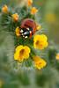 Ladybug_SueA