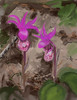ms_deerhead orchid2_MarySmith