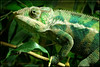 SAPC_OffTheme_HghDsrt Chameleon_LindaZ_886
