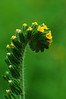 Green Fiddleneck by Mary Smith