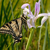 Western Tiger Swallowtail at Camp Polk Preserve by Sue Anderson