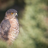 Coopers Hawk on the lookout - Sue Anderson
