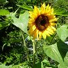 Sunflower. Jackie Gerland