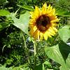 Sunflower. Jackie Gerland