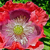 Poppy.... Sandy koch