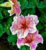 Petunia , Sandy Koch