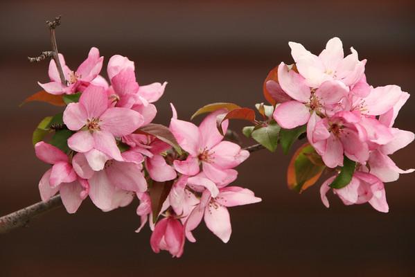 Branch of Pink-Jack Walker