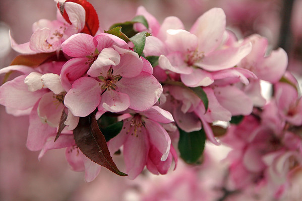Pink Flowers-Jack Walker