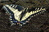 puddling butterfly-Mary Smith