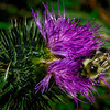 Bee on Thistle - H Tom Davis