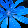 Blue Flower - H Tom Davis