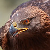 golden eagle<br /> Aquila chrysaetos
