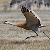 Sandhill crane lift-off