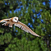 BARN OWL - LOOK'IN' FOR A SNACK