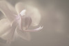 Freelensed Orchid - Ron Rogers