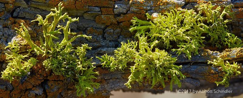 Wolf lichen 13-frame stack