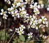 Tiny white flower field
