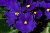 African Violet - Rich Seiple