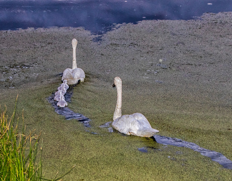 Sunriver's Gracie, Charlie and Cygnets Going to Nest