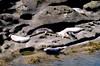 Harbor seals at Cape Arago
