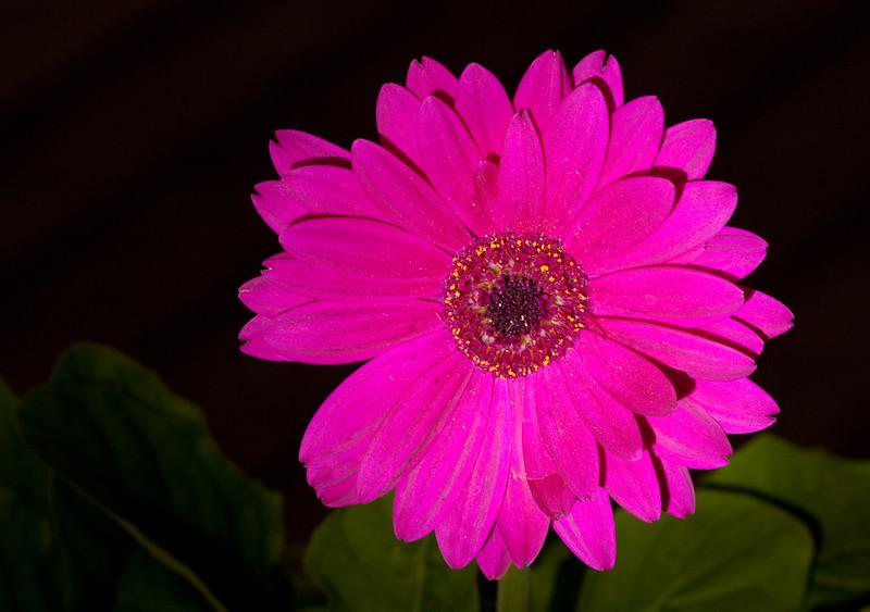 Gerber Daisy in shade/high lumen LED flashlight - Rich Seiple