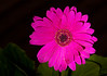 Gerber Daisy in shade/high lumen LED flashlight - Rich Seiple