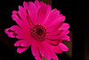 Gerber Daisy full sun - Rich Seiple