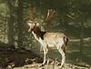 Fallow deer taken in Redmond, OR