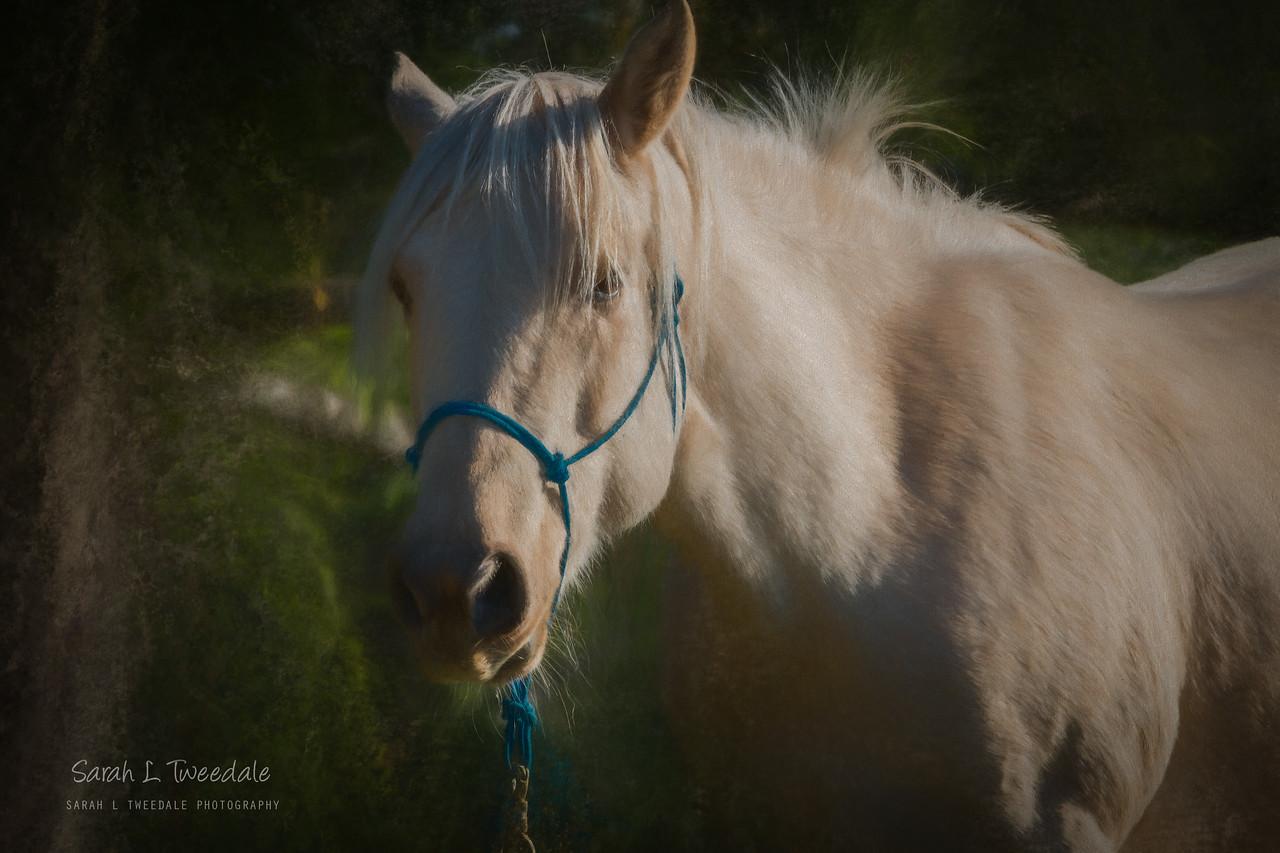 Ginger - Murphie's Horse