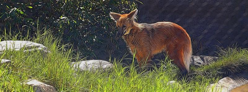 T_Red Maned Wolf.jpg
