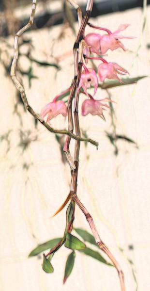 T_Oriental orchids.jpg