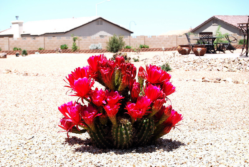 """Bloomin Catus""  This type plant very rarely produces red flowers in this region.  We've also been told that it only blooms once a year.  This year, so far, it bloomed six times.  The flowers only last one day.  How cool is that?"