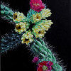 """""""Cholla on Black"""", 17""""X18"""".  (For sale)."""