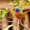 Painted (Painted) Bunting